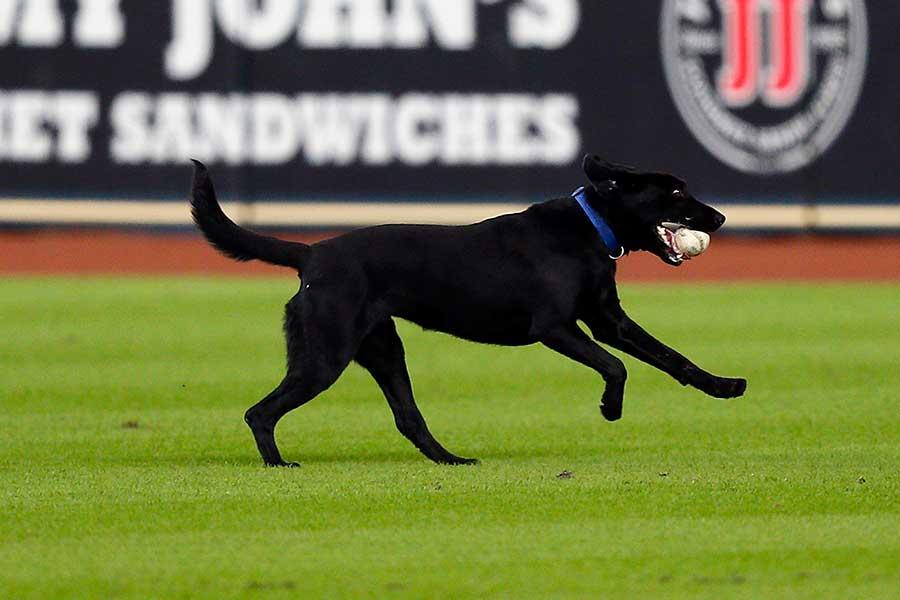 米球場ではバットを拾うバット犬やボールを拾うボール犬などがいることも(写真はイメージです)【写真:Getty Images】