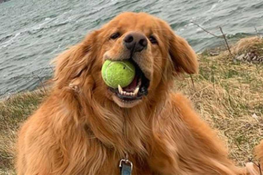 ゴールデンレトリバーのフィンレイ君、この子がボールを6つくわえるとどうなる?(写真はフィンレイ君のインスタグラムより)