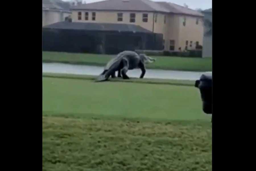 フロリダ州のゴルフコースに珍客が現れた(画像はニコレット・ペルドモ氏のツイートより)